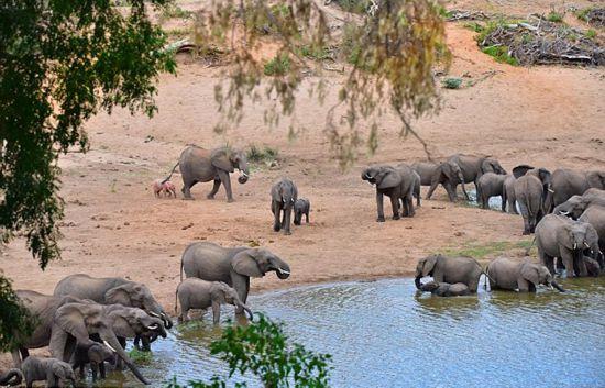 南非野生动物园发现罕见粉红色幼象(组图)