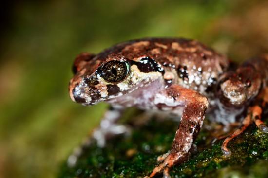 这是发现于腾冲的两栖动物新种――腾冲掌突蟾(资料照片)。