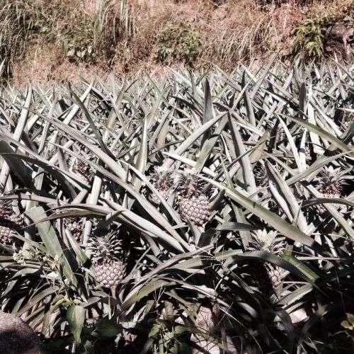 漳州本地菠萝上市啦!这些地方的菠萝最有名 你不知道吧?