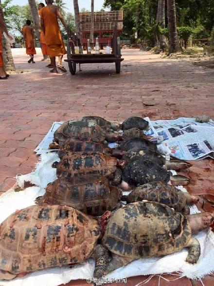 泰国放生民众将陆龟放入水中 不少龟活活淹死