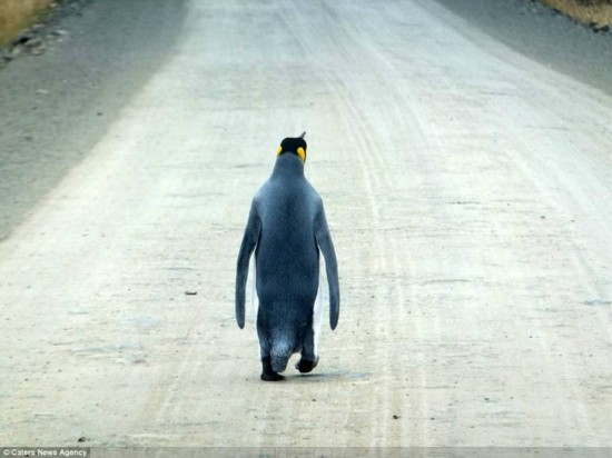 摄影师在路上邂逅迷路的企鹅 孤独感爆棚