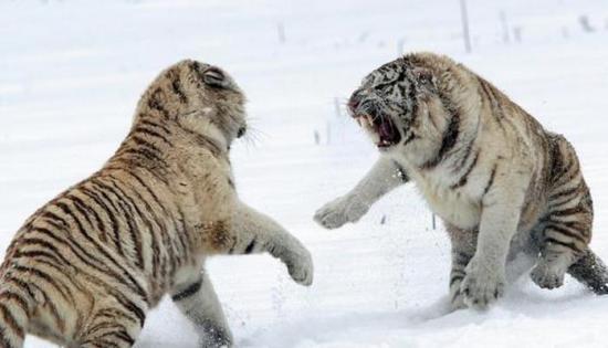 干白虎骚穴_两白虎大打出手 二虎相争为领地 实力不容小觑