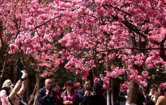 3月14日,游人在昆明圆通山公园内观赏盛开的樱花。