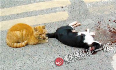 小龙坎一小区大门,公猫遇车祸丧生,母猫守护在旁。