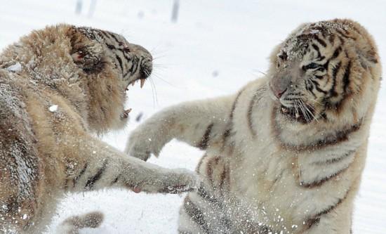 兩白虎大打出手 張牙舞爪顯呆萌