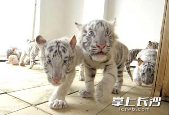 此次长沙生态动物园首次成功繁殖白虎6胞胎在世界都属罕见.