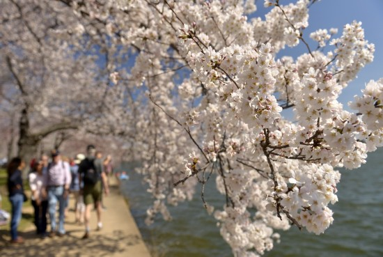 3月24日在美国首都华盛顿潮汐湖畔拍摄的盛开的樱花。