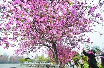 南京莫愁湖公园海棠盛开 吸引市民驻足拍照