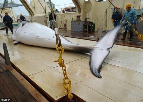 日本再次捕杀333头鲸鱼 其中包括怀孕母鲸