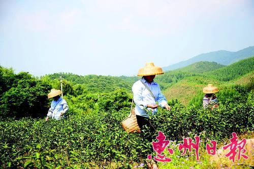 """我市逐渐形成贫困村""""一村一业、一村一品""""产业格局。惠东白盆珠横坑村的茶是该村的一大特色种植项目。"""