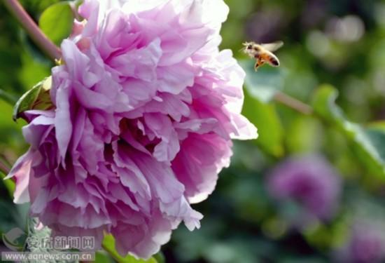 春暖花开之际,莲湖公园开满花朵,蜂舞花间,一派盎然春意.
