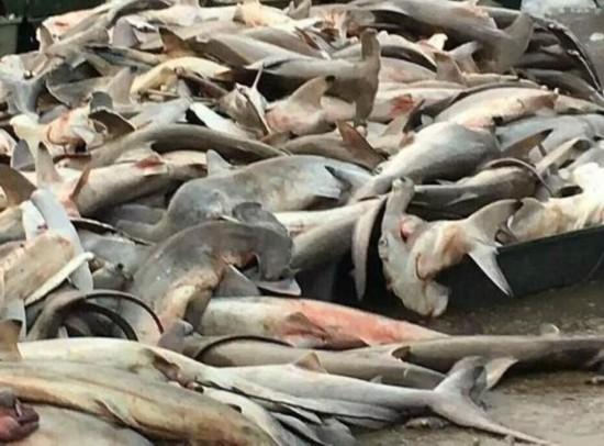 三亚卖濒危锤头鲨