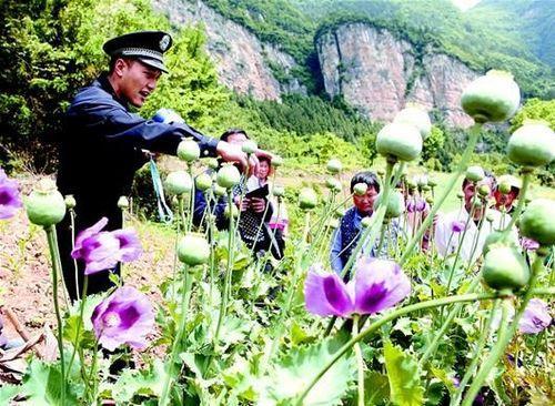 男子非法种罂粟