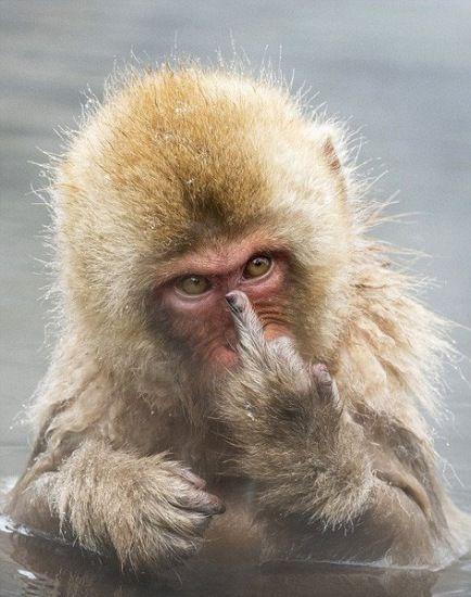 搞笑!猕猴洗澡发现被人偷拍公然竖中指抗议(图)