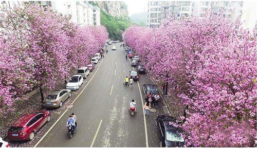 柳州市水南路道路两旁开满洋紫荆花-柳州24万株洋紫荆落花造花海 市