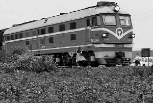 """广东佛山南海狮山莲塘村200亩玫瑰花田紧挨着三茂铁路,花海中一列列的火车伴着花香经过,风光独特又旖旎。但就在9日,一则""""几名女大学生在狮山莲塘村的玫瑰花田赏花,其中一名穿白衣服女孩由于靠近铁路自拍而被火车撞断双脚身亡""""的消息在网络流传。记者10日走访并向狮山镇了解证实,此事事发4月9日中午12时许,一名女子在铁路边自拍,被后方正高速驶来的列车卷入车轮,救护车到场时该女子已无生命迹象。"""
