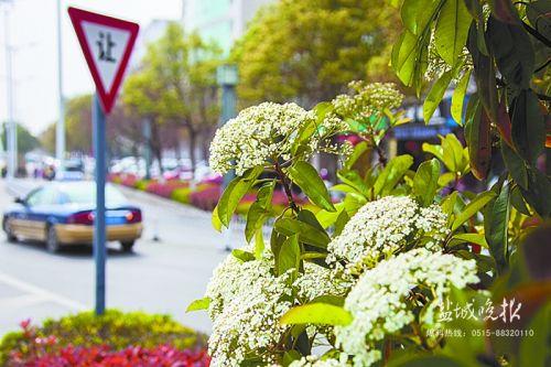 石楠花绣木球紫荆 盐城道路绿化带繁花盛开
