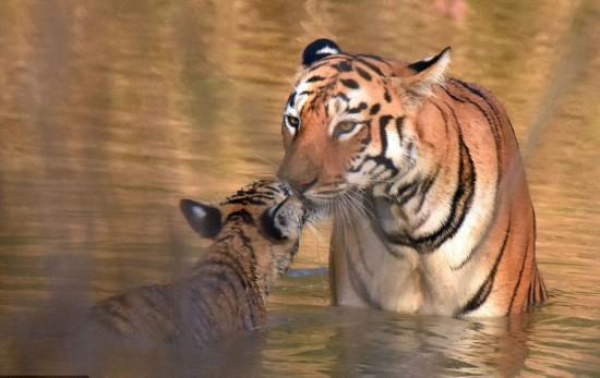 自然保护区观察老虎的生活习性,抓拍到这对老虎母子河中沐浴的画