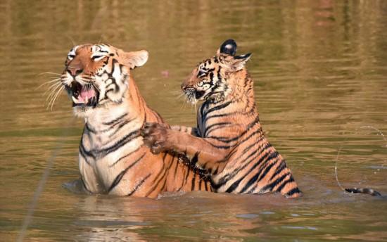 老虎妈妈带着小老虎在河里洗澡.小老虎顽皮可爱,一会儿扑到妈妈
