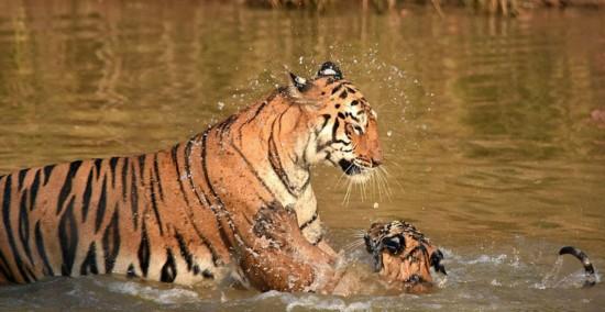 施特拉邦的一处老虎自然保护区内一对老虎母子在河中洗澡嬉戏的温