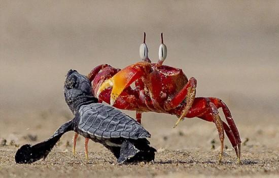 """印度沙蟹欺负小海龟 演绎现实版""""蟹老板""""(组图)"""