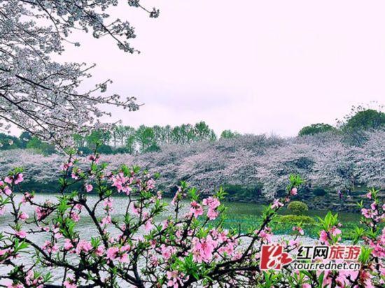 樱花湖畔。旋哥 摄
