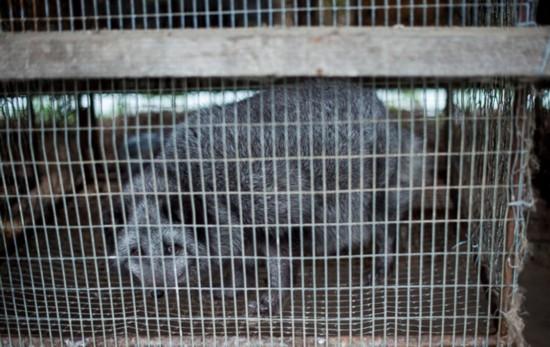 残忍!俄动物农场揭露奢华皮草背后的血腥真相(组图)