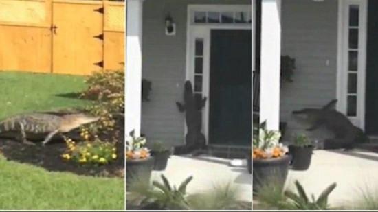 美国一鳄鱼按铃求开门视频走红网络(图)