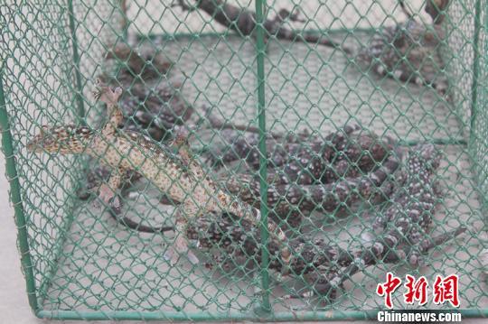 云南一男子非法猎捕野生大壁虎被刑拘