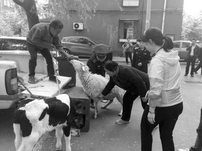 居民养牛羊当宠物异味大遭投诉 曾每天