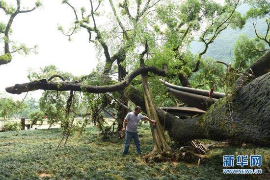 广西阳朔遭遇罕见洪灾 千年大榕树折断多根树枝