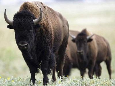 北美野牛成国兽 成年公牛可达1.8米高体重将近一吨(图)