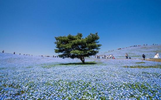 日本日立滨海公园 粉蝶花汇成蓝色海洋