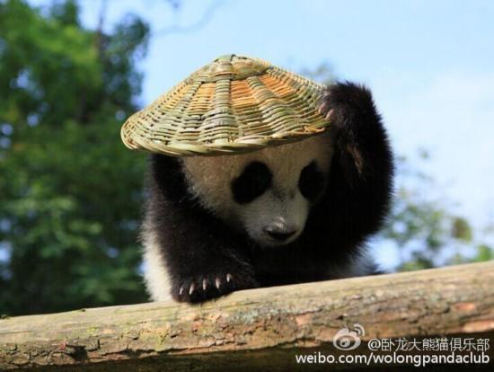 """大熊猫宝宝戴草帽背竹篓 变身""""神龙大侠"""""""