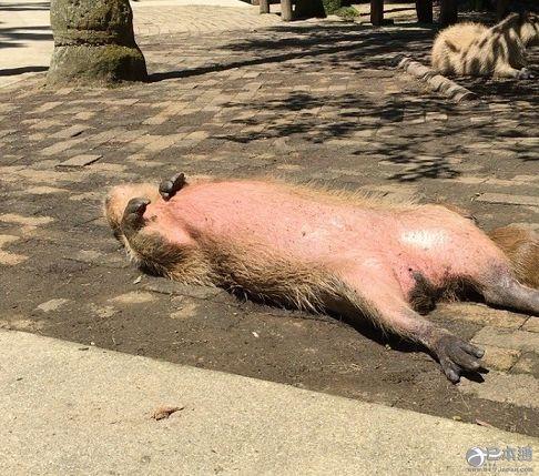 """长崎生物公园""""水豚大叔""""成网红"""