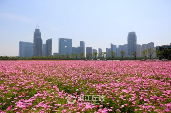 杭州1300亩花海绽放 正值盛花期美不胜收