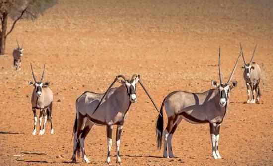 奇!纳米比亚一羚羊双角向下倒长