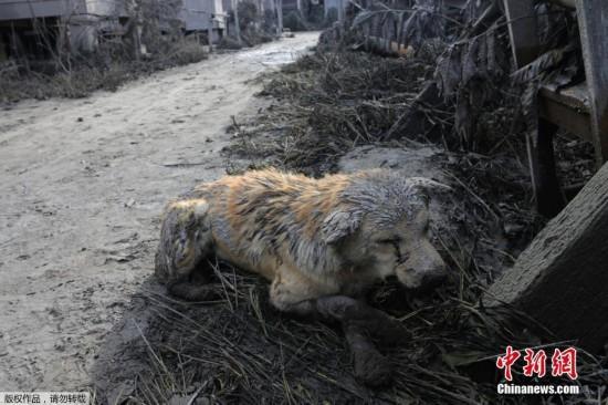 印尼火山喷发灰尘掩盖村庄 6人遇难小动物遭殃