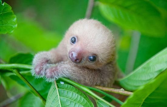 哥斯達黎加為助樹懶重返野外成立研究所