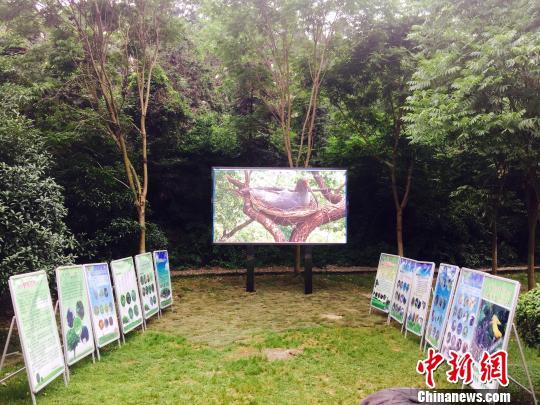 浙江朱�q野外重建种群项目8年突破200只繁育目标
