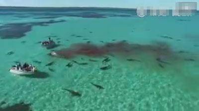 震撼画面!澳大利亚现70头画面分噬座头鲸鲨鱼车震佟晨洁视频图片