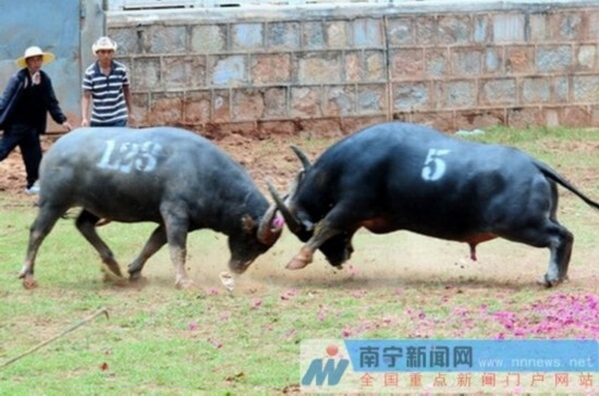 马山斗牛狂欢节上演 品千人全牛宴赏土司文化