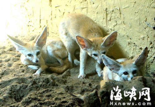 """巨耳""""芬尼克""""露脸福州动物园 从非洲远道而来--福建"""