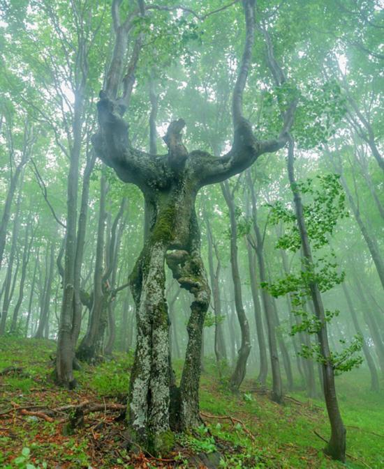 保加利亚大树形状奇特 酷似巨人(组图)