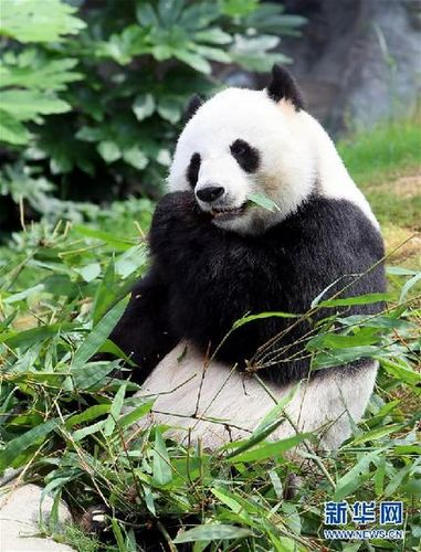 香港海洋公园悉心照料全球最年长大熊猫(图)
