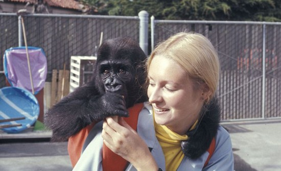 大猩猩与训练员相处40年 学会数千个英语单词