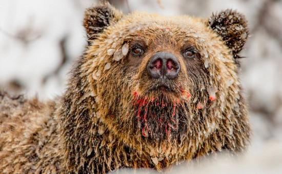 加生物学家近距离拍摄熊的日常生活