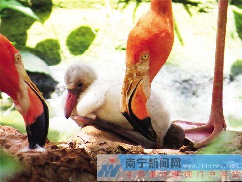 """南宁动物园火烈鸟""""添丁"""" 为广西首例成功繁殖记录"""
