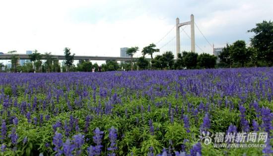 在福州遇见普罗旺斯:六月花海公园成紫色海洋