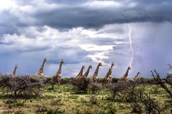 摄影师抓拍到长颈鹿似被闪电击中画面